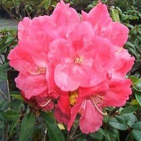 Rhododendron 'Robinette' - Find Azleas,Camellias,Hydrangea and Rhododendrons at Loder Plants